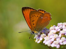 Butterfly on a flower. Scarce copper, Lycaena virgaureae (male) Royalty Free Stock Image