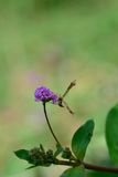 Butterfly with flower scent Royalty Free Stock Photos