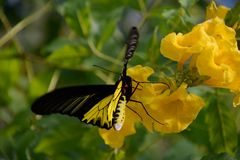 Butterfly with flower scent Royalty Free Stock Images