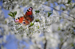 Butterfly and flower. The sense of taste with a butterfly, located in their feet Royalty Free Stock Photography