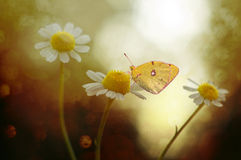 Butterfly and flower. The sense of taste with a butterfly, located in their feet Royalty Free Stock Photos