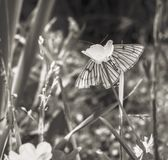 Butterfly on flower in sepia. Tender butterfly on flower in sepia at summer silence day Stock Photography
