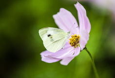 Butterfly and flower. Pink flower, white butterfly, green grass in Shenzhen University in Summer Stock Image