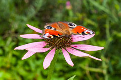 Butterfly and flower. Butterfly sitting on a pink flower Royalty Free Stock Images
