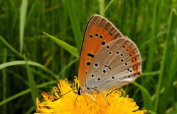 Butterfly on flower. Slovakia Royalty Free Stock Photography
