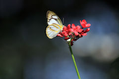 Butterfly with flower The Striped Albatross Royalty Free Stock Photos