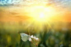 Butterfly on a flower. At sunrise royalty free stock image