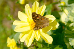 Butterfly and flower. This is a butterfly and flower at Thailand royalty free stock photos