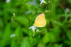 Butterfly on flower. Thialand color single butterfly  flower green Royalty Free Stock Image