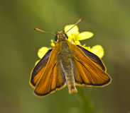 Butterfly On A Flower (Thymelicus sylvestris). A butterfly is nesting on a flower Royalty Free Stock Images