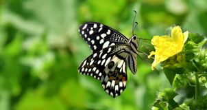 Butterfly on flower to collect honey. It is collect honey from flower garden royalty free stock photography