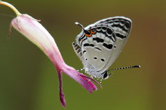 Butterfly on flower,Tongeia potanini. Black and red stripes on wings Stock Images