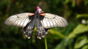 Butterfly on a flower. Tropical butterfly on a flower stock video footage