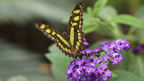 Butterfly on flower. Tropical butterfly feeding on flower in nature stock video