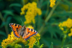 Butterfly flower urticaria. Orange butterfly urticaria, sitting on a yellow flower on blurred background of green grass Stock Image