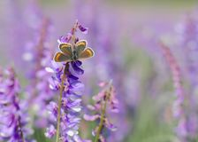 Butterfly on a flower. Vicia cracca tufted vetch, cow vetch royalty free stock photo