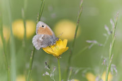 Butterfly on a flower, Vosges, France Royalty Free Stock Photo