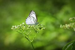 Butterfly and  flower. White butterfly and  flower in garden Royalty Free Stock Image