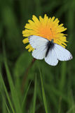 Butterfly on a flower. White butterfly on a wild flower Royalty Free Stock Photo