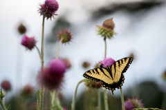 Butterfly on a Flower. Butterfly on a Wildflower stock photography