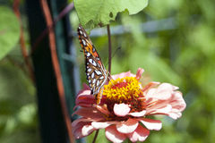 Butterfly. On flower, wings spread Stock Image