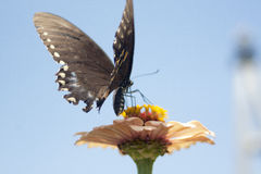 Butterfly. On flower, wings spread stock photography