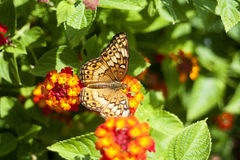 Butterfly. On flower, wings spread royalty free stock photo