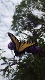 Butterfly and flower. A yellow and black butterfly on a purple flower Royalty Free Stock Photos