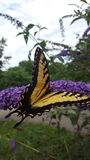 Butterfly and flower. A yellow and black butterfly on a purple flower Royalty Free Stock Images