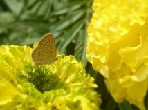 Butterfly. Flower yellow nature background Stock Photos