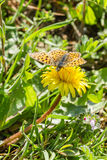 Butterfly on a flower. A yellow butterfly on a yellow flower Royalty Free Stock Photos