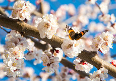 Butterfly on a flowering branch of apricot stock photos