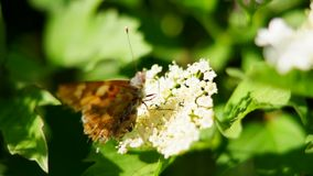 Butterfly, flowering Bush stock footage
