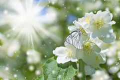Butterfly on flowering jasmine Royalty Free Stock Photography