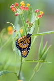 Butterfly on flowering plant Stock Photography