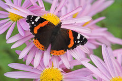 Butterfly on Flowers. Red-Admiral Butterfly on early autumn Chrysanthemums Stock Photos