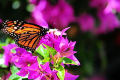Butterfly on Flowers. Monarch Butterfly standing on bougainvillea in a South Florida garden stock photo