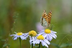 Butterfly on flowers. A Butterfly on flowers, Landing on flower Royalty Free Stock Photography