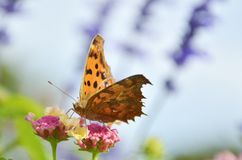 Butterfly on flowers. A butterfly on flowers , Tan & Black wings Stock Image