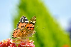 Butterfly on flowers. A butterfly on flowers, Landing on flower Stock Photo
