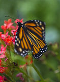 Butterfly on flowers. A monarch butterfly on pink flowers in a garden royalty free stock image