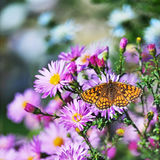 Butterfly and flowers. Butterfly sitting on purple flowers Royalty Free Stock Photo