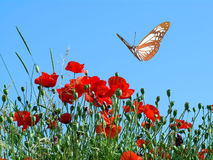 The butterfly and flowers. The butterfly and coqelicot, the nature Royalty Free Stock Photo