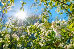 Butterfly on the flowers of an apple tree in the rays of the sun. Russia Moscow. Spring stock image