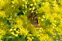 Butterfly on flowers. Beautiful butterfly on yellow flowers Stock Images