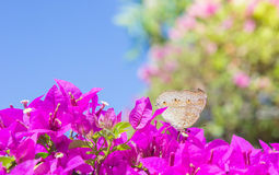 The butterfly and flowers , Butterfly garden bougainvillea flowe Royalty Free Stock Photography