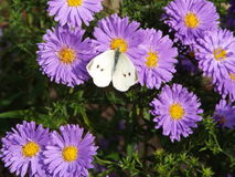 Butterfly on flowers. A cabbage white butterfly visits flowers Royalty Free Stock Photos
