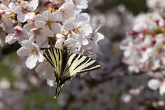Butterfly on flowers Royalty Free Stock Photography
