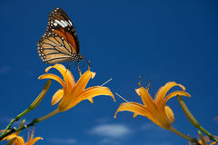 Butterfly on flowers (Day lilies) Stock Photography
