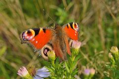 Butterfly. On flowers in early autumn in a sunny day Stock Photos